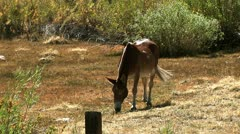 Mule donkey feeding in a field on a hot sunny day nature beauty Stock Footage