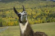 Llama looking up Stock Photos
