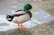 Stock Photo of duck on ice