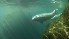 Seals swim Stock Footage
