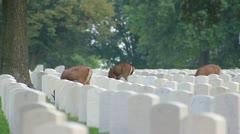 Deer grazing in Jefferson Barracks national cemetery Stock Footage