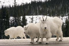 Mountain Goats Stock Photos