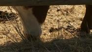 Steer, cattle, graze, eat Stock Footage