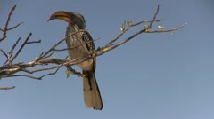 Hornbill on branch Stock Footage