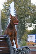 The doberman pinscher (alternatively spelled dobermann in many countries) or  Stock Photos