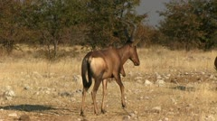 Red hartebeest Stock Footage