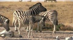 Resting zebra herd - stock footage