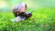 Snail on moss 2 Stock Footage