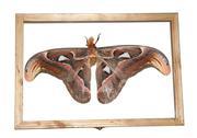 Giant silkworm moth attacus atlas Stock Photos