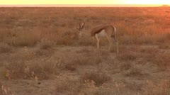 Springbuck at sunset Stock Footage