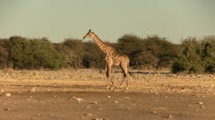 Walking giraffe in the afternoon Stock Footage