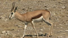 Walking springbuck Stock Footage