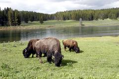 Bison tai Buffalo Yellowstonen kansallispuistossa Kuvituskuvat