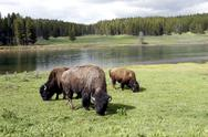 Stock Photo of Bison or Buffalo in Yellowstone National Park