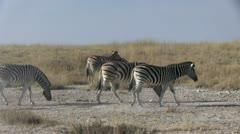 Walking zebras - stock footage
