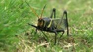 Stock Video Footage of Grasshopper Feeds In  Grass Walks Away