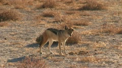 Wounded jackal - stock footage