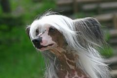 the chinese crested dog outdor foto - stock photo