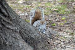 Squirrel behind tree - stock photo