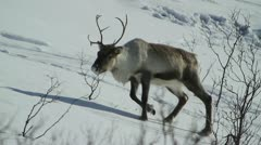 Reindeer walking in snow - stock footage