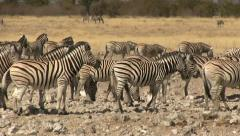 Zebra herd, pan shot Stock Footage