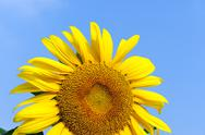 Stock Photo of sunflower under blue sky