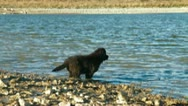 Newfoundland Dogs Enjoying In Water Stock Footage