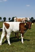lakenvelder calf - stock photo