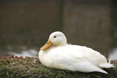 beautiful white duck - stock photo