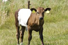 calf lakenvelder - stock photo
