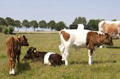 lakenvelder cattle - stock photo