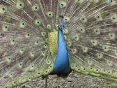 Peacock  male Stock Photos