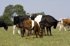 herd of lakenvelder cows and calves - stock photo