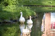 Two white geese in pond Stock Photos