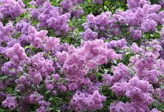 Blossoming lilac Stock Photos
