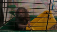 Decorative rat in a cage Stock Footage