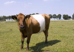 beautiful lakenvelder cow - stock photo