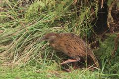 weka in high grass - stock photo