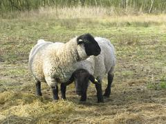 two suffolk sheep - stock photo