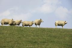 sheep on dyke - stock photo