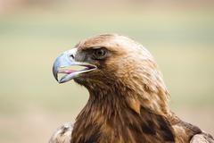 golden eagle. aquila chrysaetos. - stock photo