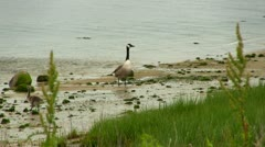 Canadian Geese at low tide Stock Footage