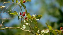 Red fruits of Rosa canina Stock Footage
