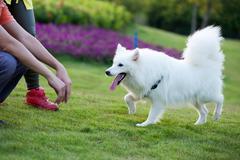 Samoyed dog running Stock Photos