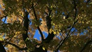 Golden Yellow Fall Leaves with Deep Blue Autumn Sky Stock Footage