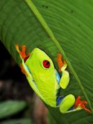 Red-eyed Leaf Frog - stock photo
