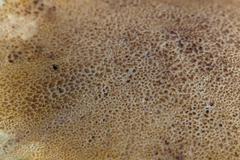 Stock Photo of bolete mushroom
