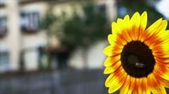 Sunflower closeup Stock Footage