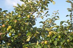 wild apples - stock photo