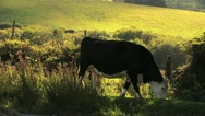 Stock Video Footage of Cow Grazing on Dartmoor HD 2